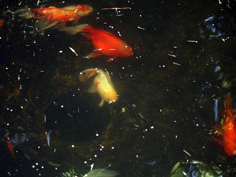 Lago da Íris – Peixinhos